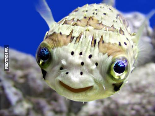 The cutest fish I've ever seen... Toxic as hell